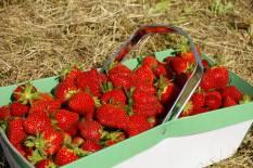 fraise panier